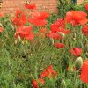 Poppies at St Augustine's